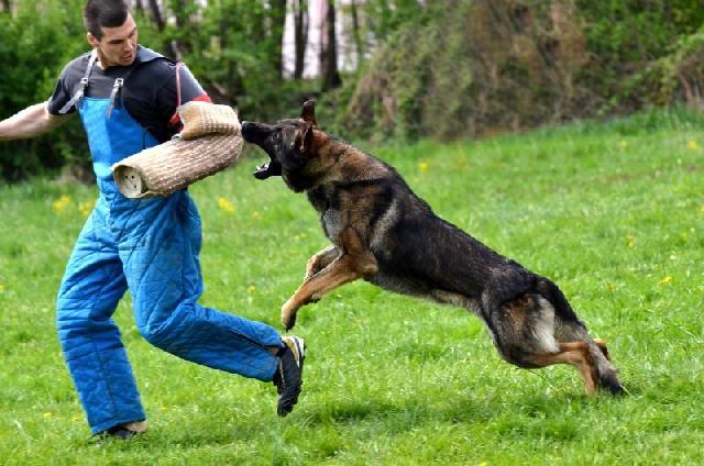 caes-guarda-treinamento
