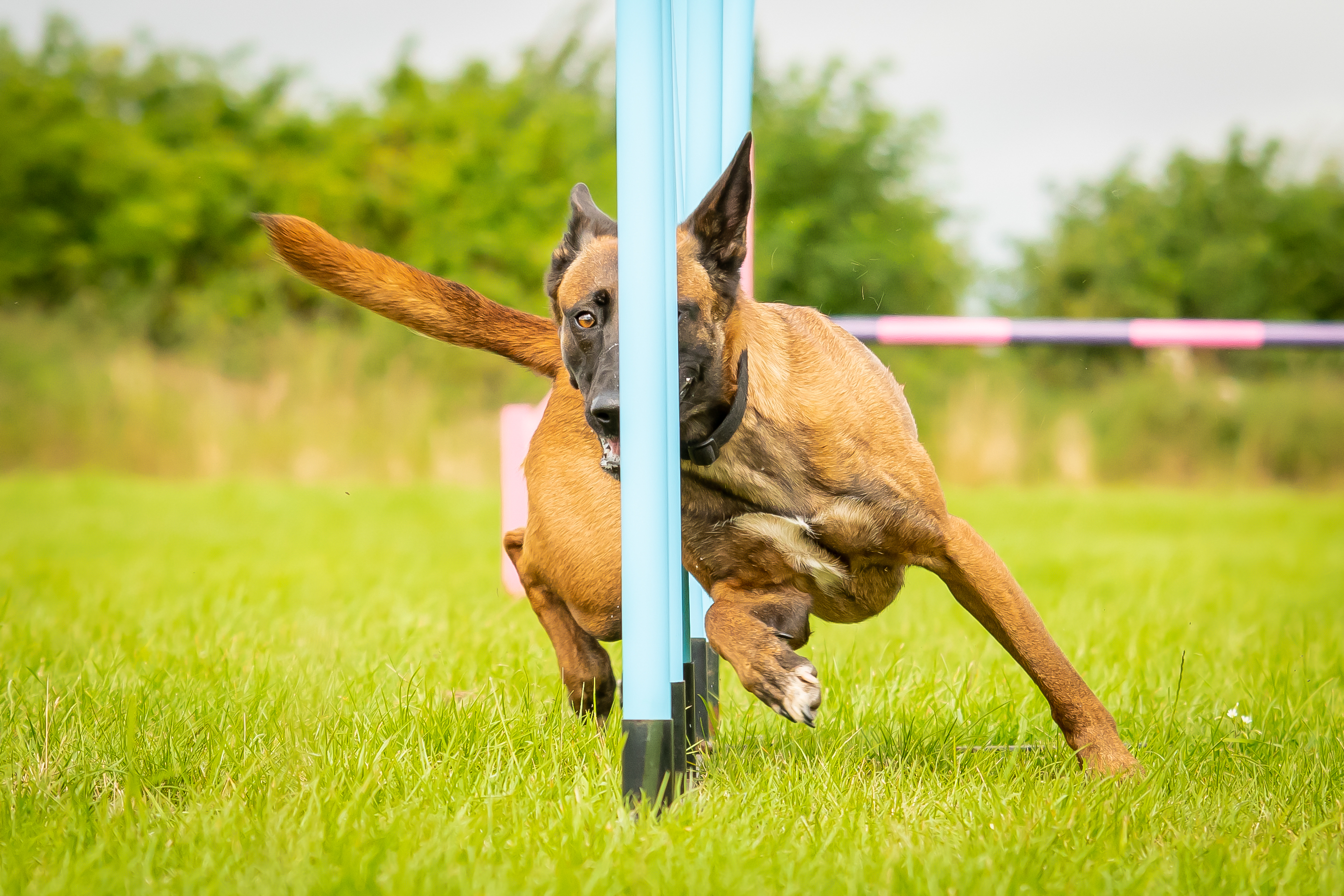 Belgian Malinois Completing Dog Agility Weaving Poles