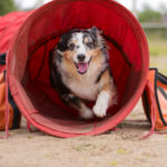 The Australian Shepherd is exiting the red tunnel.